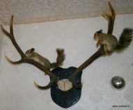 №403 HORNS OF RED DEER ,№404 SQUIRREL.